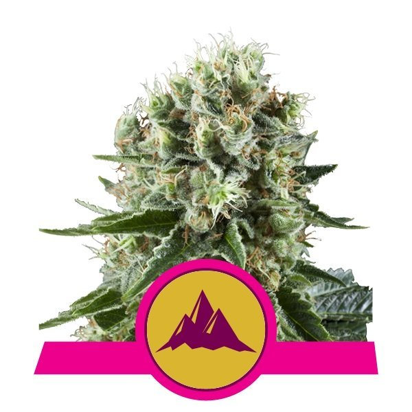 Critical Kush feminized, Royal Queen Seeds