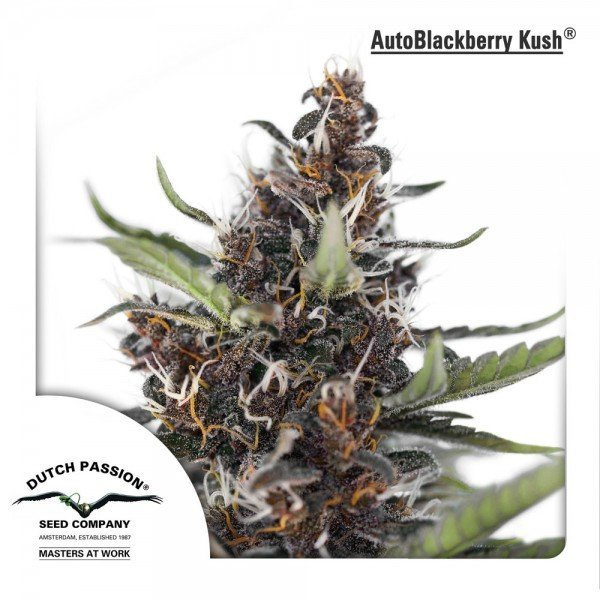 Auto Blackberry Kush feminised, Dutch Passion