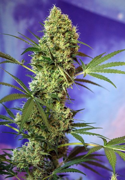 Auto Big Devil feminized, Sweet Seeds