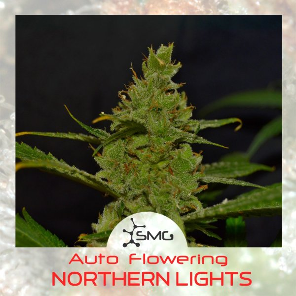 Auto NORTHERN LIGHTS feminized, SMGenetics