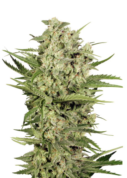 CHEESE FEMINIZED, Seedstockers