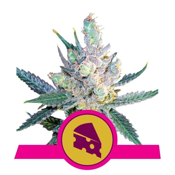 Royal Cheese Fast feminized, Royal Queen Seeds
