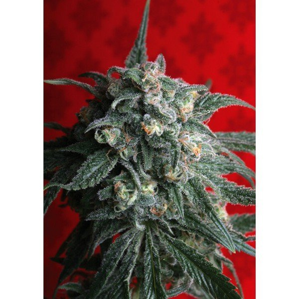 A-Train feminized, T.H.Seeds