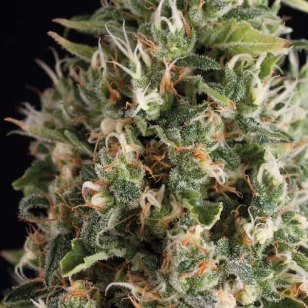 Auto Wendy feminized, Trikoma Seeds