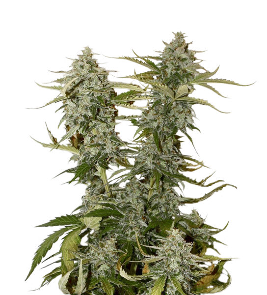 CANDY DAWG FEMINIZED, Seedstockers