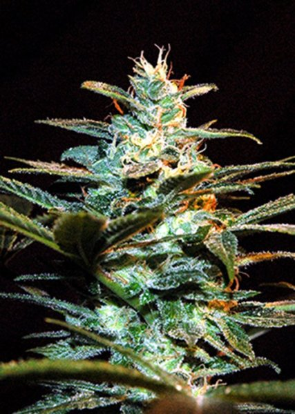 Ice Cool SWS06 feminized, Sweet Seeds