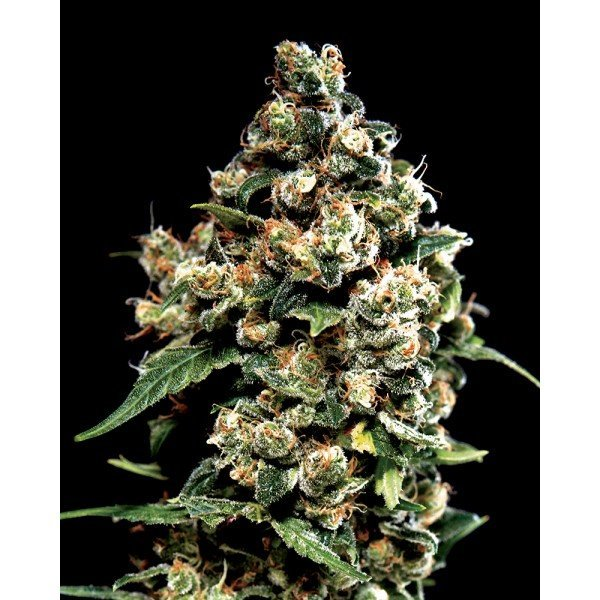 Jack Herer Feminised, Green House Seeds