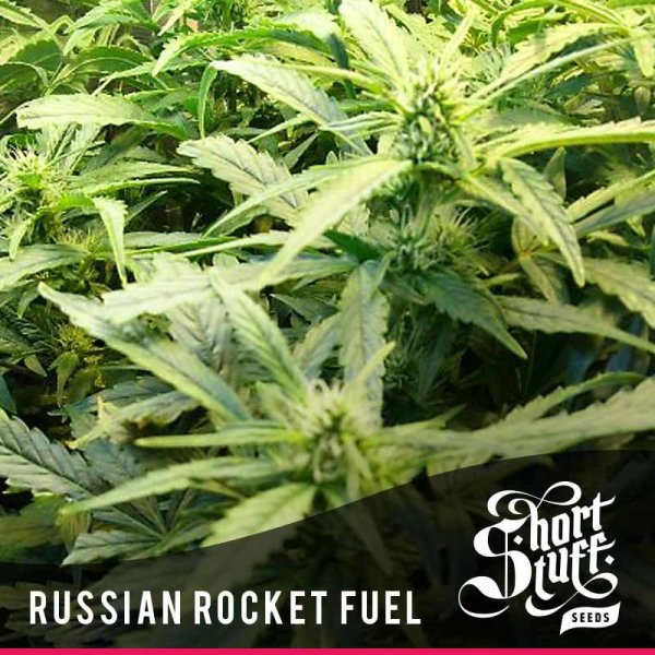 Russian Rocket Fuel Auto feminized, Short Stuff Seedbank