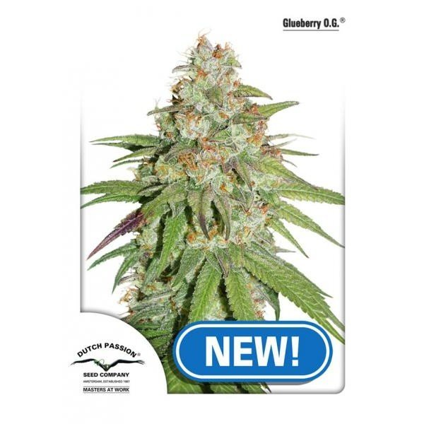 Glueberry OG feminised, Dutch Passion