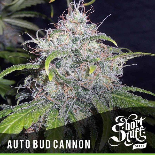 Auto Bud Cannon feminized, Short Stuff Seedbank
