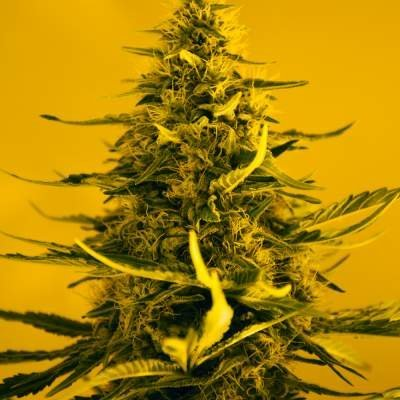 Auto White Widow feminized, Nirvana Seeds