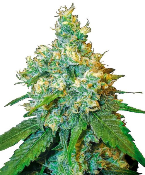 Jack Herer Feminized seeds, Sensi Seeds