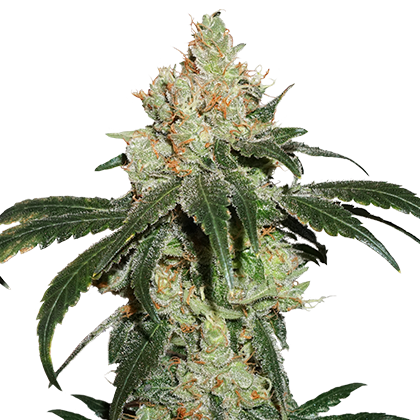 NICOLE CREAM FEMINIZED, Seedstockers