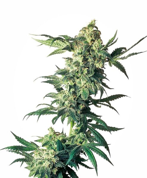 Northern Lights Feminized Seeds, Sensi Seeds