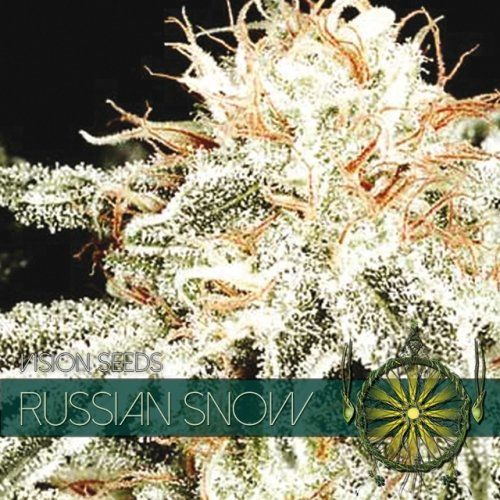Russian Snow feminized, Vision Seeds