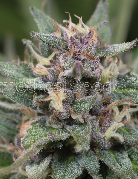Auto BlueHell feminized, Medical Seeds