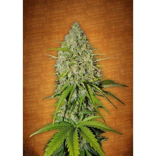 Auto Grapefruit feminized, Fast Buds