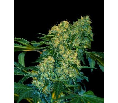 Chingis Khan Feminised, VIP SEEDS