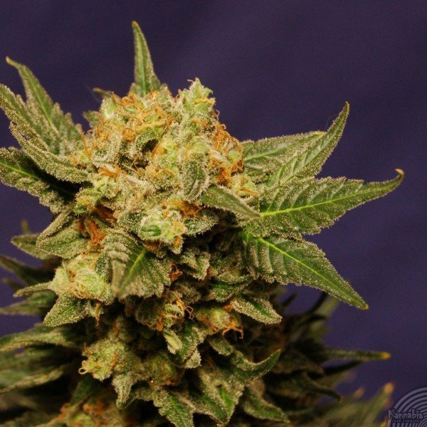 Big Band feminized, Kannabia Seeds