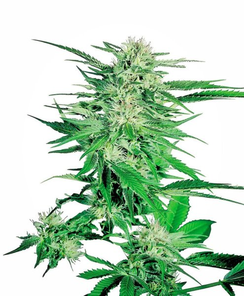 Big Bud® Seeds, Sensi Seeds