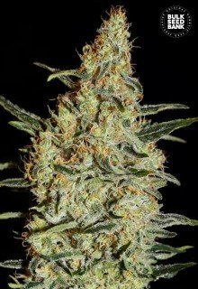 New's Haze feminized, Bulk Seed Bank
