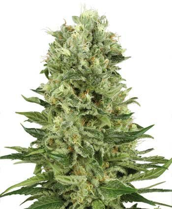 Skunk Automatic feminized, Sensi White Label