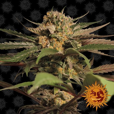 Violator Kush Feminised, Barney's Farm