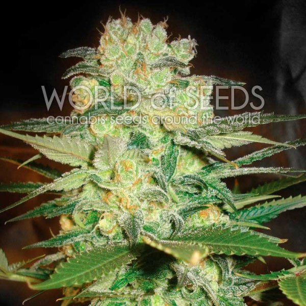 Afghan Kush x White Widow feminized, World of Seeds