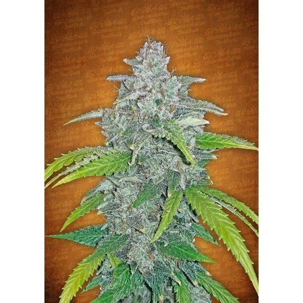Auto Blue Dream Matic feminized, Fast Buds