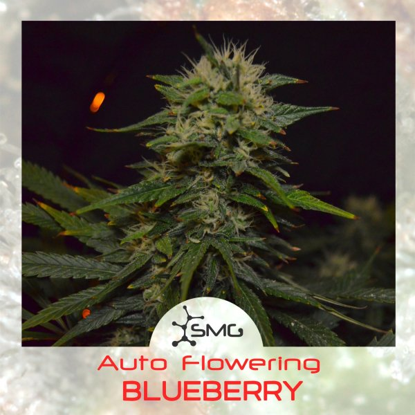 Auto BLUEBERRY feminized, SMGenetics