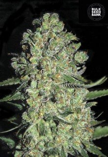 Auto Chronical feminized, Bulk Seed Bank