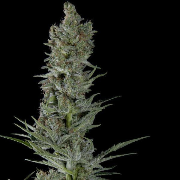 Auto Critical Plus feminized, Trikoma Seeds