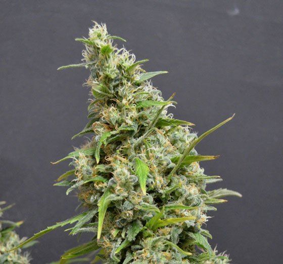 Auto Northern Lights feminized, Amsterdam Seeds