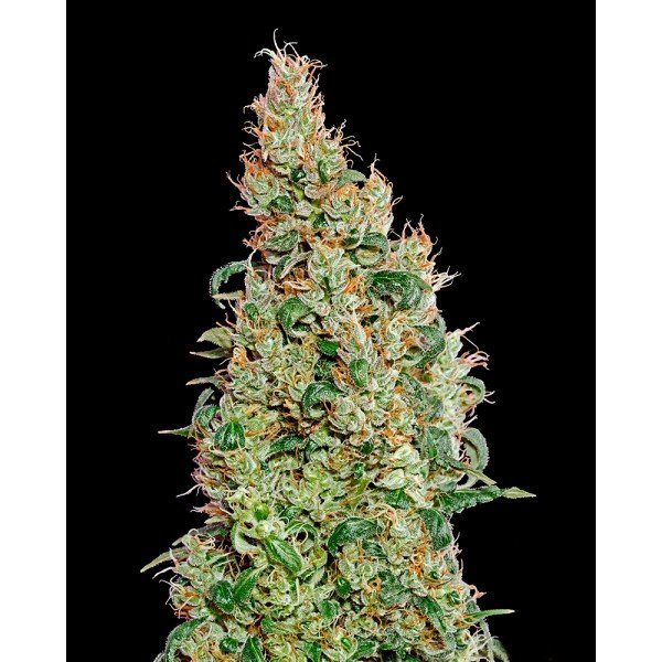 Auto Green-O-Matic Feminised, Green House Seeds