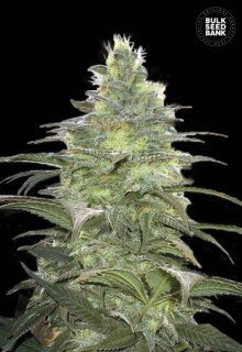 Blueberry Berry feminized, Bulk Seed Bank