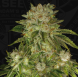 Mk-Ultra feminized, T.H.Seeds