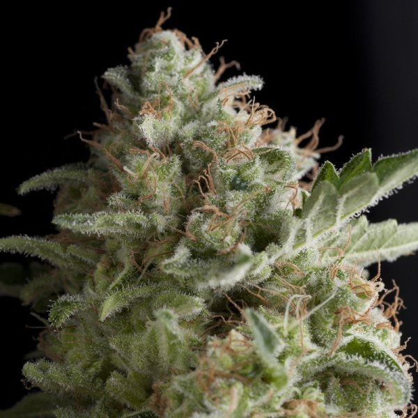 American Pie feminized, Pyramid Seeds
