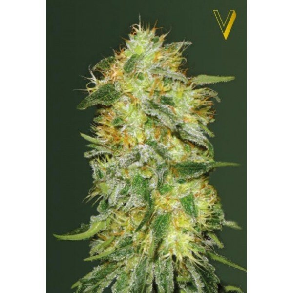 Original Limonade Skunk feminized, Victory Seeds
