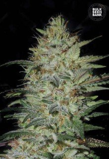 Sensible Star feminized, Bulk Seed Bank