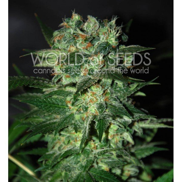 Stoned Inmaculate feminized, World of Seeds
