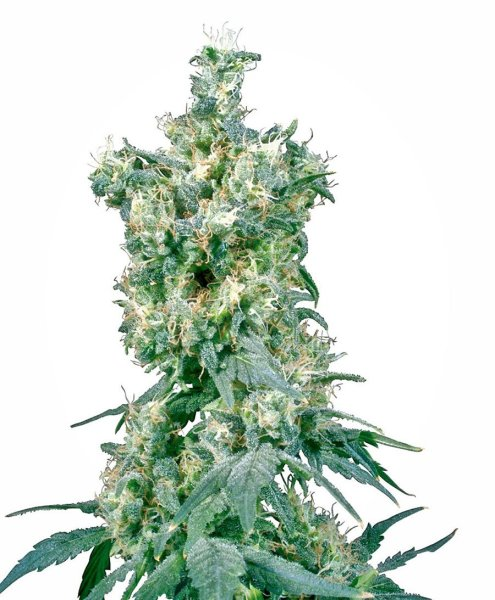 American Dream® Seeds, Sensi Seeds