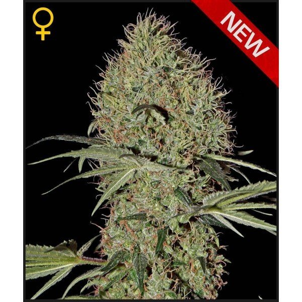 Auto Super Bud feminised, Green House Seeds