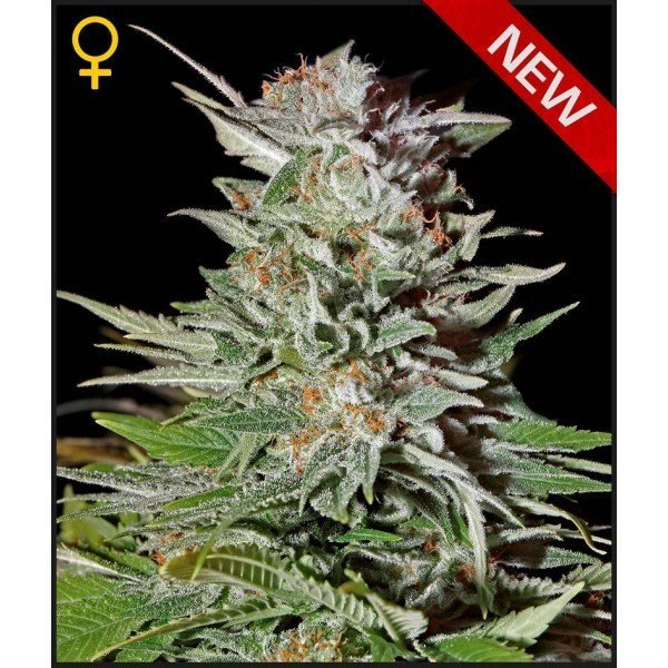 Auto Super Lemon Haze feminised, Green House Seeds