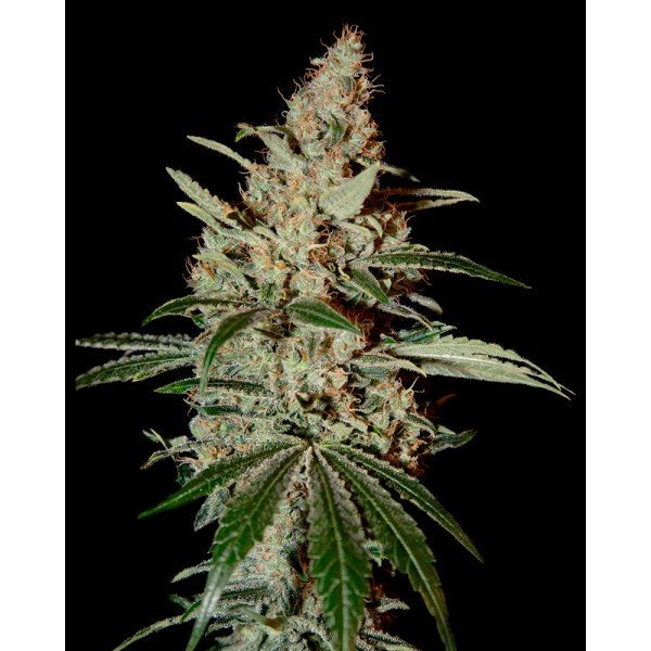 Chemdog Feminised, Green House Seeds