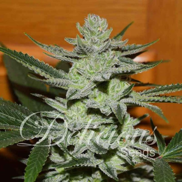 Desconocida Kush feminized, Delicious Seeds