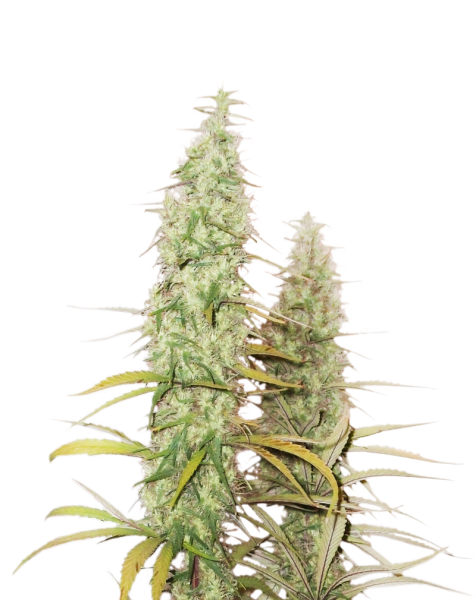 SANTA MARTA HAZE FEMINIZED, Seedstockers