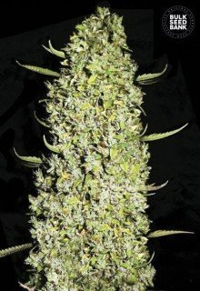 The Unlimited feminized, Bulk Seed Bank