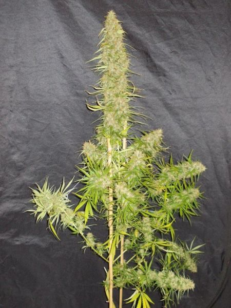 Zamaldelica feminized, ACE Seeds