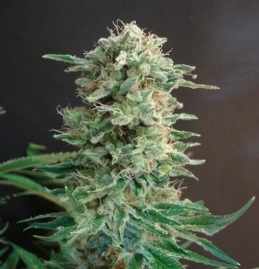 Big Dutch Bud feminized, Amsterdam Seeds