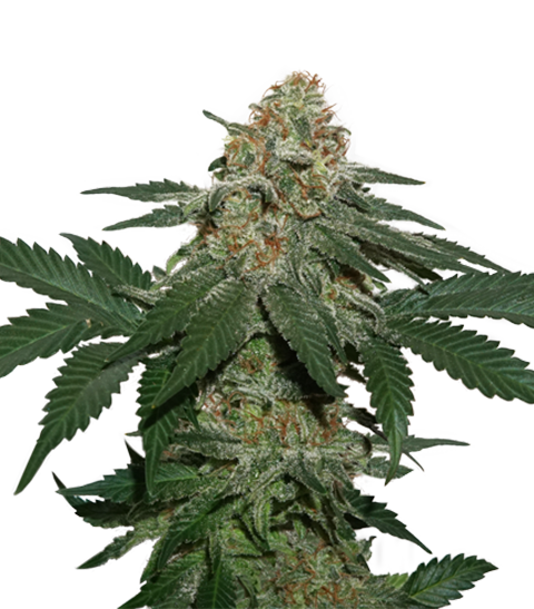 GRANDADDY CONFIDENTIAL FEMINIZED, Seedstockers
